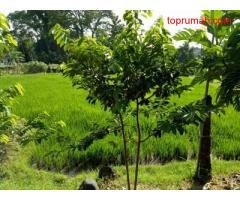Tanah pekarangan murah luas 2 are di Babakan Canggu Bali