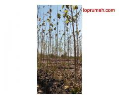 Jual tanah kebun jati (jenis jati plus Stek Pucuk dan KBK )